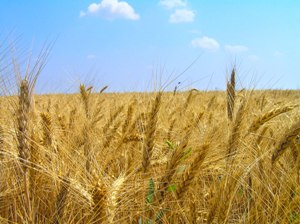 field_of_wheat[1]